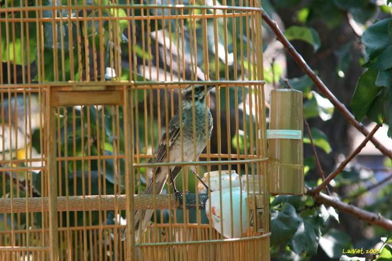 Mockingbird ekor panjang