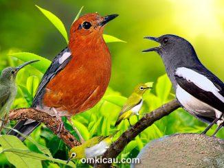 Ragam kombinasi suara burung betina untuk memancing bunyi