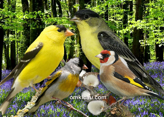 download suara burung goldfinch