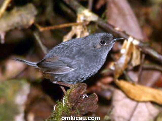 spesies burung baru - Bahian tapaculo