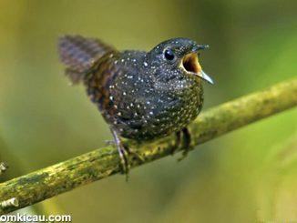 spesies burung baru - Spotted wren-babbler