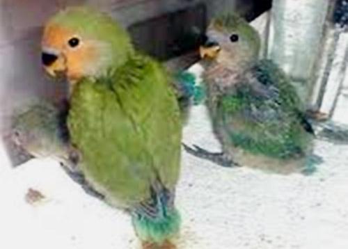 anakan silangan parkit-lovebird