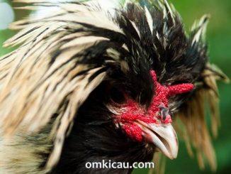 Ayam poland dengan bentuk jambulnya yang unik dan nyentrik