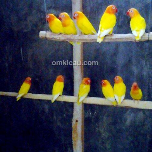 breeding lovebird Kurnia BF Banjarnegara--1