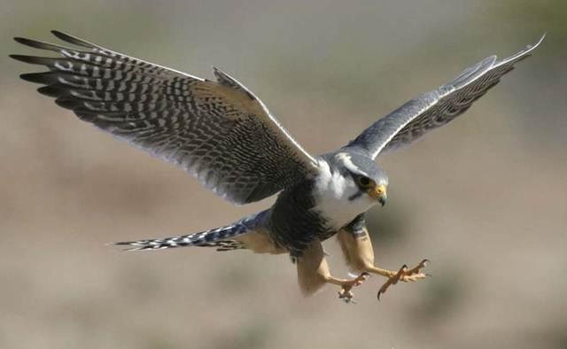 Burung alap-alap atau falcon