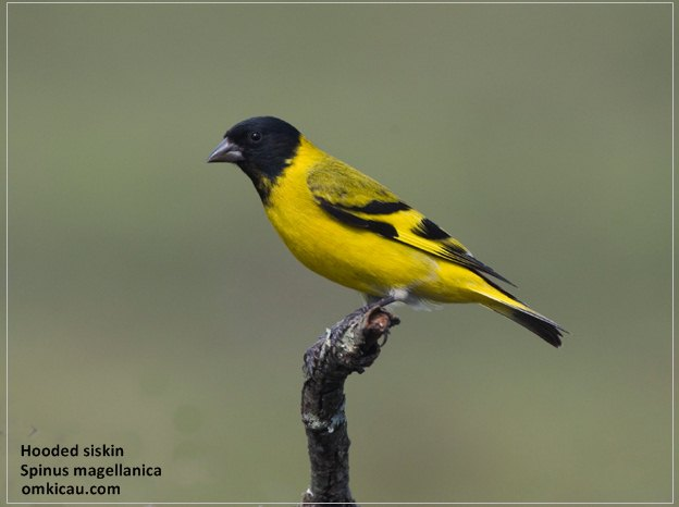 Hooded siskin (Spinus magellanica)