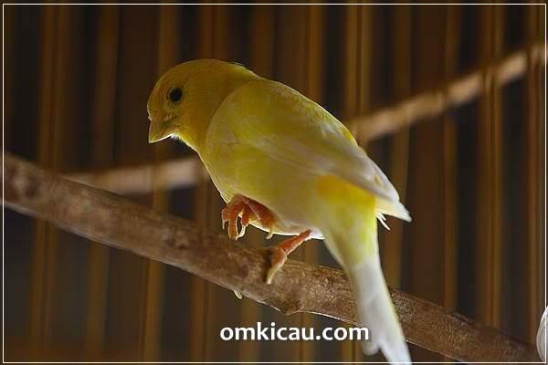 Lima penyebab burung sering mengangkat sebelah kakinya