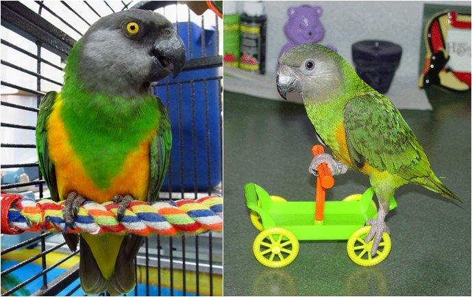 Senegal parrot banyak dipelihara untuk ditangkarkan dan dilatih atraksi