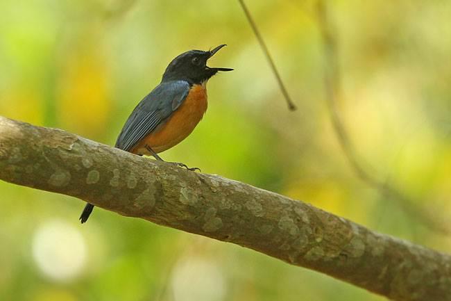 Burung sikatan tanahjampea endemik Pulau Tanah Jampea, Sulawesi Selatan