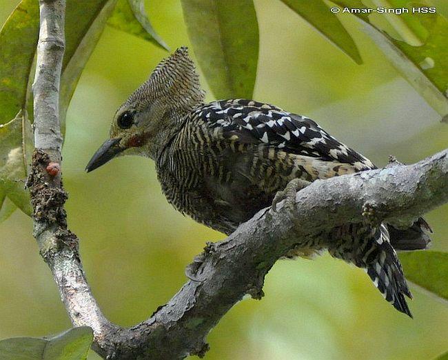 Buff-rumped eoodpecker (Meiglyptes grammithorax) yang sebelumnya dianggap sebagai satu spesies dengan caladi batu (Meiglyptes tristis)
