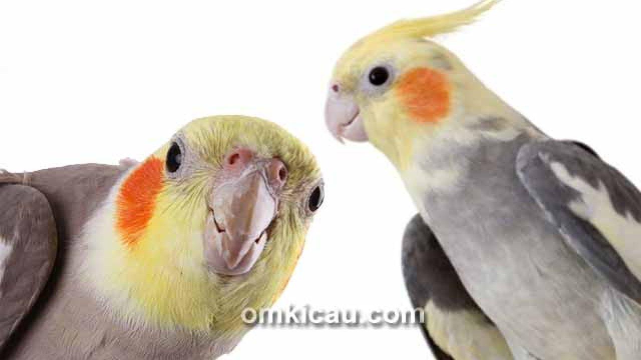 Variasi Suara Siulan Untuk Melatih Dan Memaster Burung Cockatiel