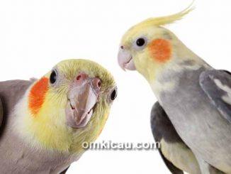 burung cockatiel
