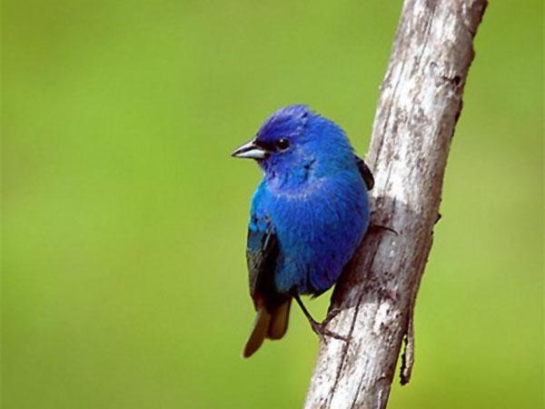 Burung indigo bunting