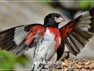 Rose-breasted grosbeak (Pheucticus ludovicianus) spesies burung bersuara merdu dari keluarga Cardinalidae