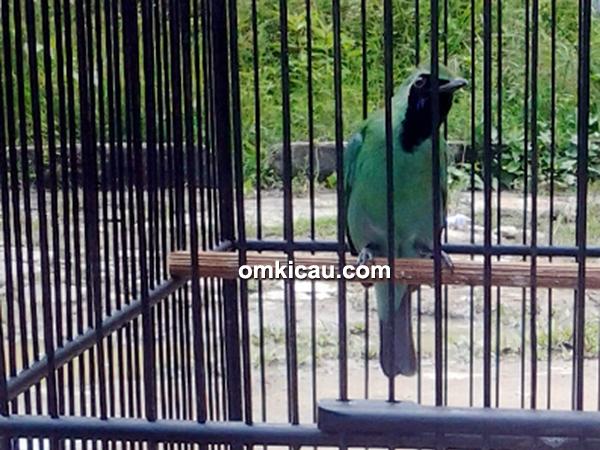 Cucak hijau Hanoman
