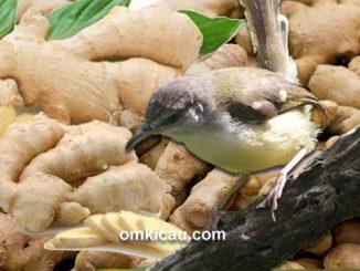 Aneka ramuan jahe untuk burung ciblek