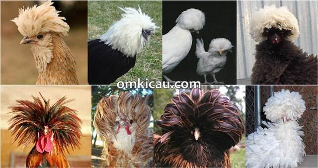 Macam-macam bentuk jambul yang unik ayam poland