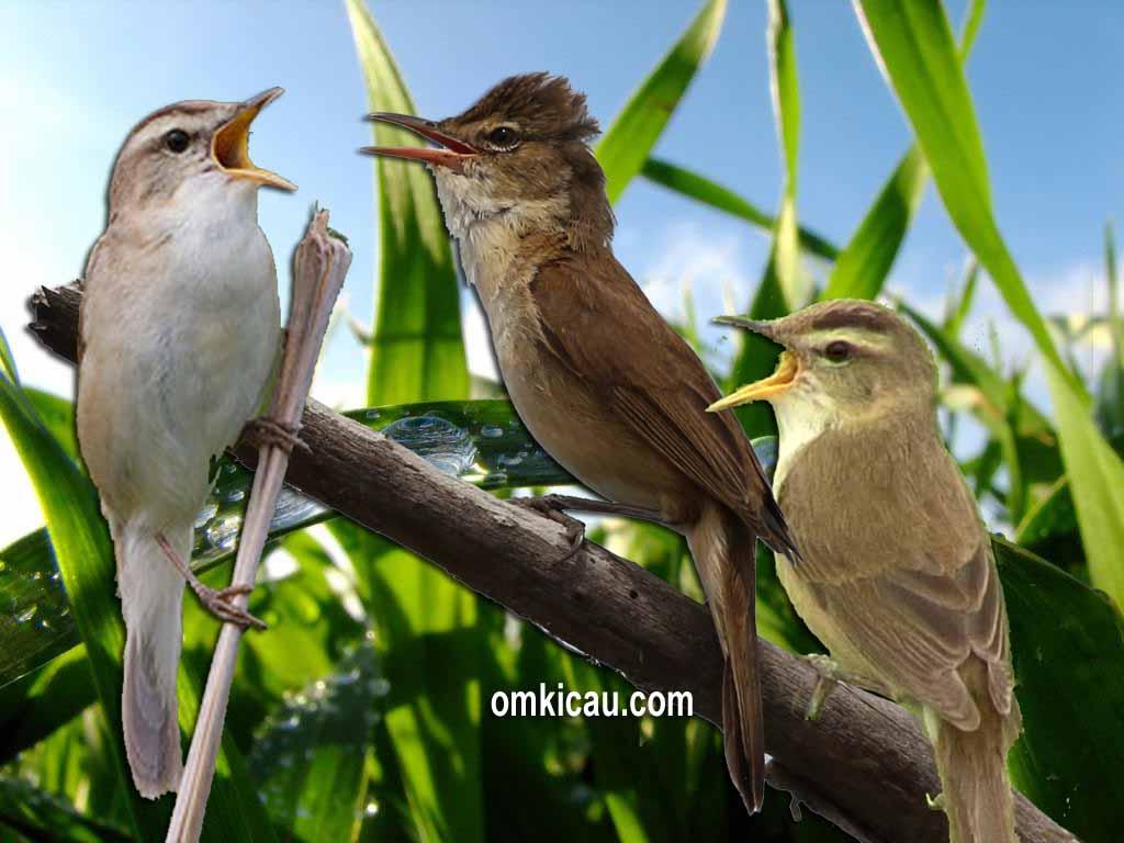 Mengenal tiga spesies kerakbasi dan suara kicauannya untuk masteran