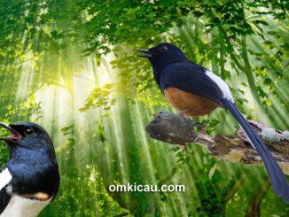 Kombinasi audio terapi aneka burung kicauan untuk melatih dan memancing bunyi