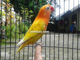 Lovebird Combet
