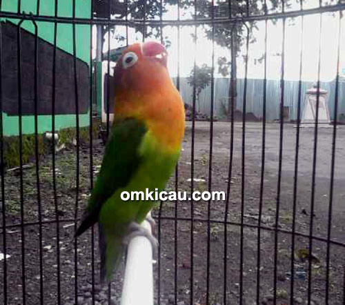 Lovebird Samba