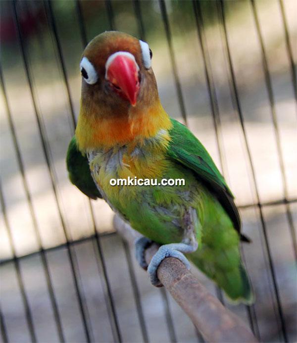 Lovebird Bayi Ajaib