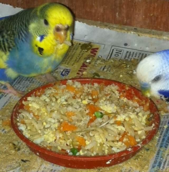 Parkit yang gemar makan nasi campur