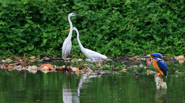 Pencemaran sungai dan rusaknya habitat menjadi ancaman bagi kelangsungan hidup satwa liar, termasuk burung raja udang meninting