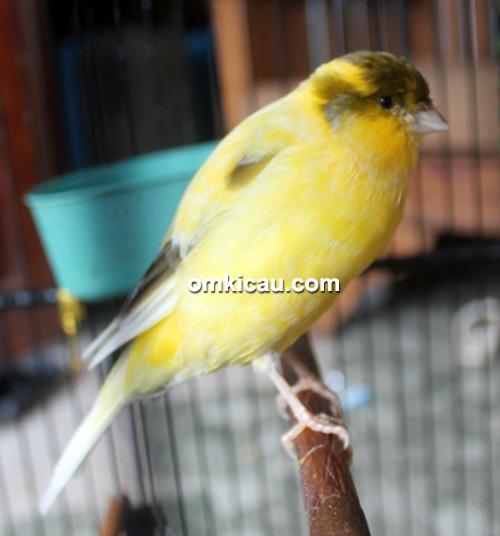 Rambo, orbitan baru Crowne Canary