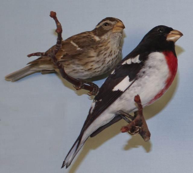Burung betina (kiri atas) dan burung rose-breasted grosbeak