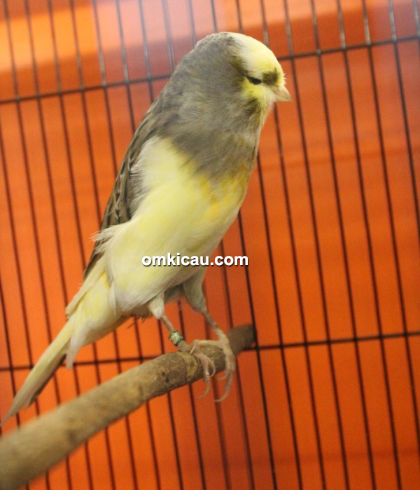Rumah Burung Betawi - Kenari YS betina