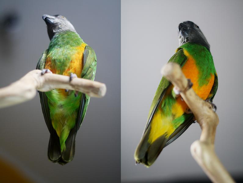 senegal parrot jantan betina