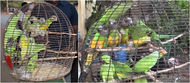 Burung yang paling banyak dicari dan perdagangkan di dunia