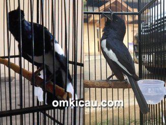 Video duel kacer Senpi vs Tikuz