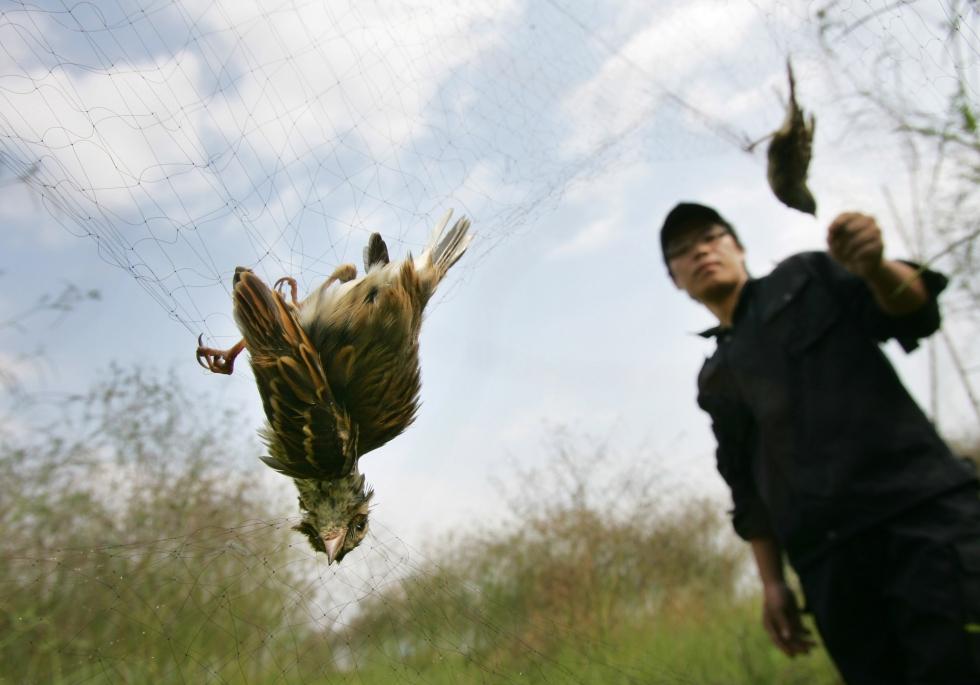 Seorang aktivis menyelamatkan burung kicauan migran yang tertangkap jaring milik pemburu