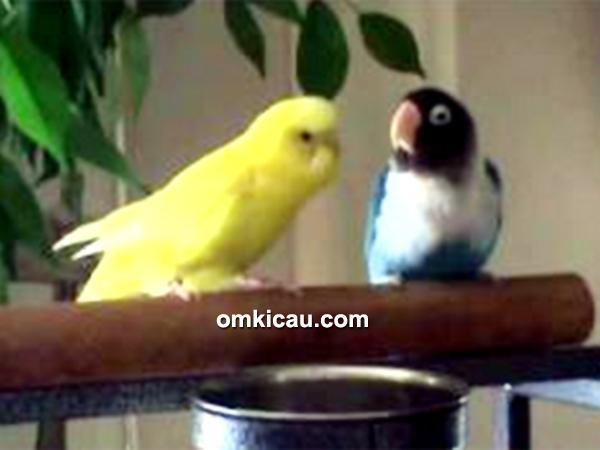 persilangan parkit dan lovebird