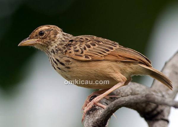 Indochinese bush lark (Mirafra erythrocephala)