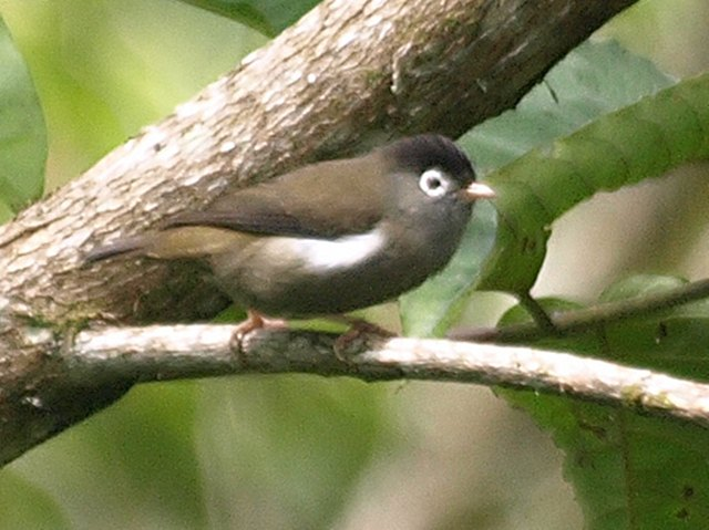 Black-capped speirops