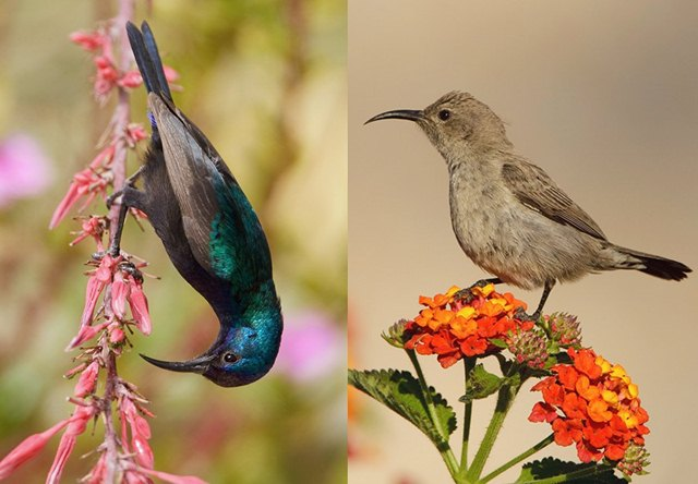 Perbedaan burung-madu palestina jantan (kiri) dan betina
