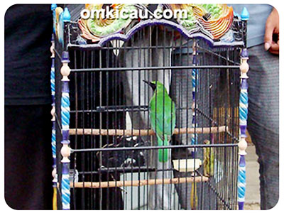 feat cucak hijau bang jali