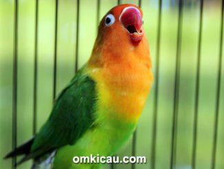 Lovebird Opium