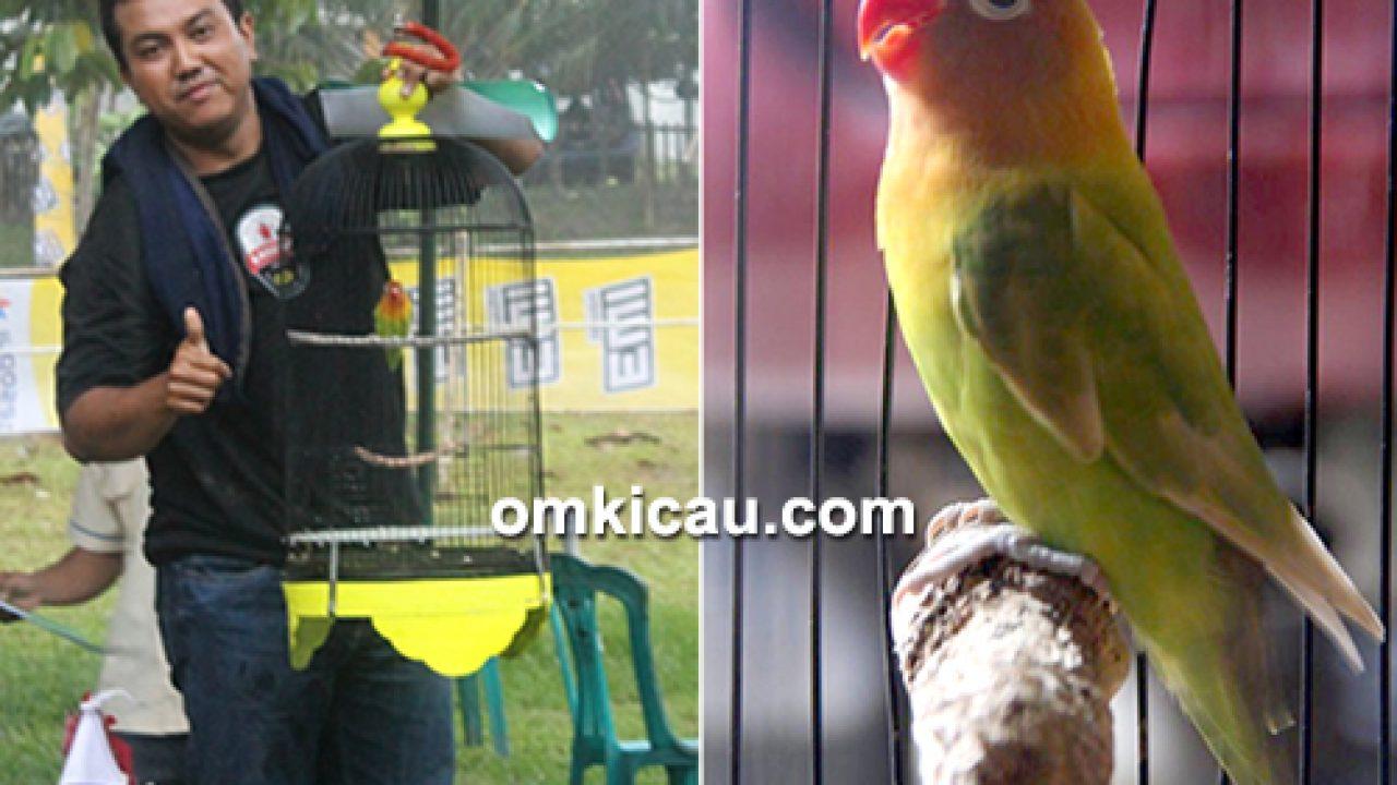 Lovebird Riri Milik Om Rd Raka Tak Pernah Mengenal Lelah Apa Rahasianya Om Kicau