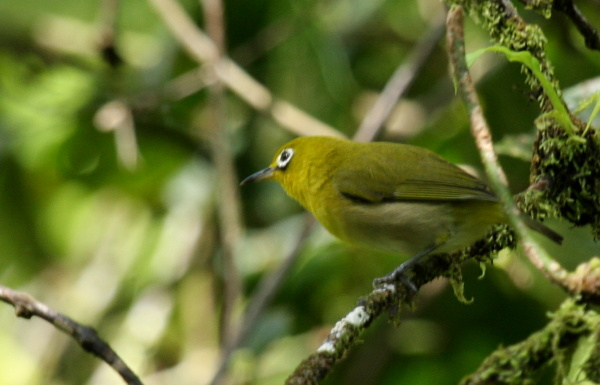 Fiji white-eye