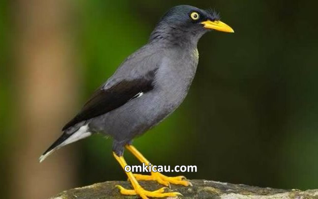 Mengatasi burung jalak yang kurang aktif dan malas berbunyi