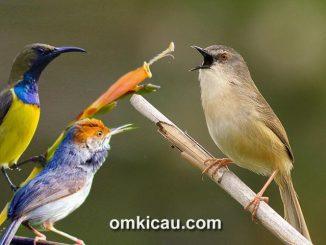 Kombinasi suara kicauan burung-burung kecil untuk masteran dan memancing bunyi