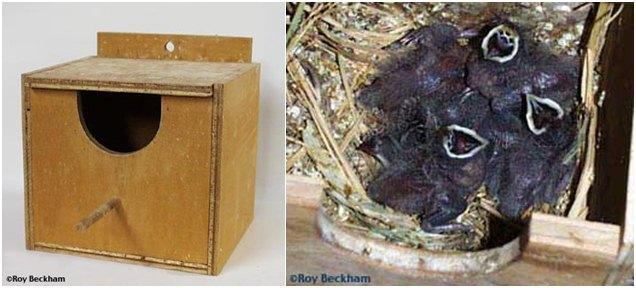 Bentuk kotak sarang yang digunakan dan anakan burung red-headed finch.