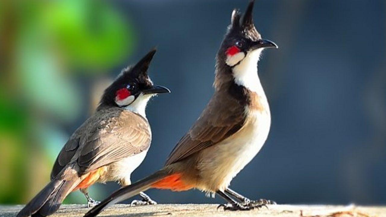 Audio Kicauan Burung Kutilang Jambul Untuk Masteran Om Kicau