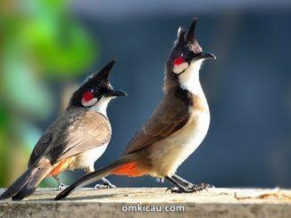 Kutilang jambul atau Red-whiskered bulbul (Pycnonotus jocosus)