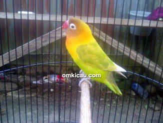 Lovebird Dora