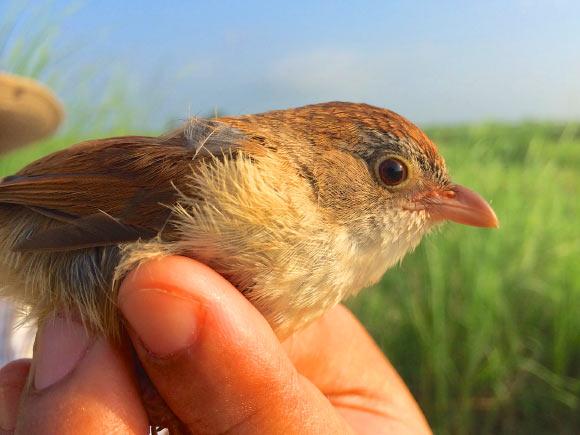 Myanmar jerdon babbler burung punah yang ditemukan kembali